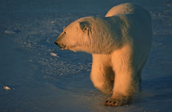 Polar bear in low Arctic sunlight. Very large male polar bear on frozen Arctic lake Royalty Free Stock Photography