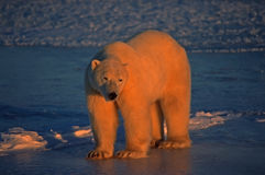 Polar bear in low Arctic sunlight. Large male polar bear lit up by setting sun in Arctic Stock Photos