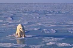 Polar bear, low bright side light in Arctic. Polar bear on the ice in Hudson's Bay. Canadian Arctic Stock Photo