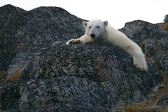 Polar Bear Lying on Black Rock during Daytime Royalty Free Stock Photos