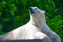 Polar bear lying on a concrete platform. Ursus maritimus. Polar bear lies on a concrete platform and gracefully turned his head. Ursus maritimus stock photos