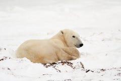 Polar Bear Lying Down in Snow. Full Length Profile of Polar Bear Lying Down in Snow royalty free stock image