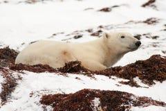 Polar Bear Lying Down in Snow. Full Length Profile of Polar Bear Lying Down in Snow and Moss royalty free stock photo