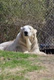 Polar bear. Lying on grass and looking straight ahead Royalty Free Stock Photography