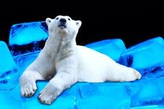 Polar bear lying on ice floe. Portrait of a polar bear lying on ice floe Royalty Free Stock Photos