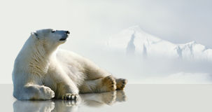 Polar bear lying on the ice. Stock Photo