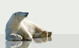 Polar bear lying on the ice. Royalty Free Stock Photography