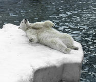 Polar bear lying on ice Royalty Free Stock Images