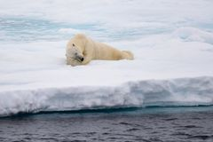 Polar bear lying on ice with snow in Arctic. North of Svalbard royalty free stock images