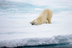 Polar bear lying on ice with snow in Arctic. North of Svalbard royalty free stock image