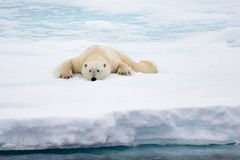 Polar bear lying on ice with snow in Arctic. North of Svalbard stock photos