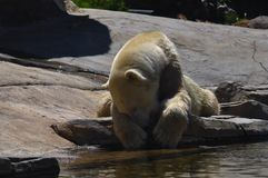 Polar bear lying on the rock stock image