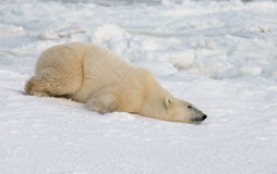 Polar bear lying in snow in the tundra. Canada. Churchill National Park. Royalty Free Stock Photography