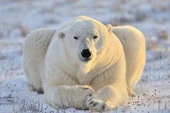 Polar Bear. Lying at tundra Royalty Free Stock Image