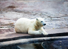 Polar bear lying at water Stock Images