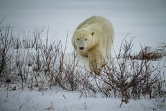Polar bear makes way to ice to hunt for seals in Canada during blizzard_. Polar bear makes way to ice to hunt for seals in Canada during blizzard in winter stock image