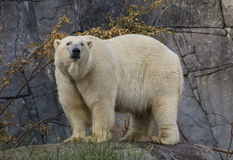 Polar Bear. Male, standing and looking royalty free stock images
