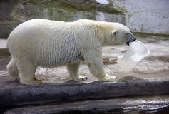 Polar bear mammal predator the Arctic hair. Sea ice Stock Photo