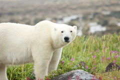 Polar Bear on the meadow stock photography