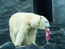 Polar bear with a meat Royalty Free Stock Photo