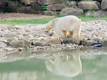 Polar bear. By melted water with detritus and rubbish Royalty Free Stock Image