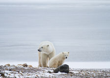 Polar bear mom and cub rest stock image