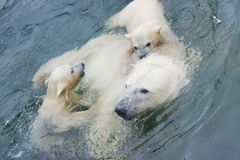 A polar bear is in the Moscow zoo Stock Image