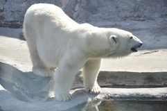 The polar bear. In the Moscow zoo . Russia Royalty Free Stock Photo