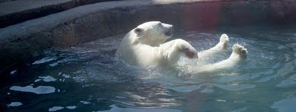 A polar bear Royalty Free Stock Photo