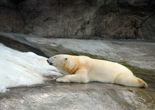 Polar bear in the Moscow Zoo. royalty free stock images