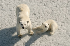 Polar bear mother and cub Stock Image