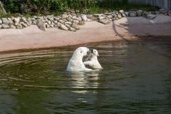 Polar bear mother and cub play Stock Image