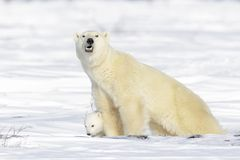 Polar bear mother with cub Royalty Free Stock Images