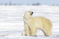 Polar bear mother with cub Stock Photos