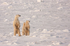 Polar Bear Mother and Cubs Standing on Hind Legs. Polar Bear Mother and Two Cubs Standing on Hind Legs in Natural Wilderness Habitat Royalty Free Stock Photography