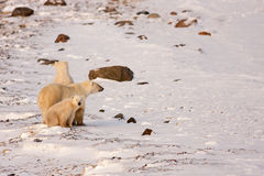 Polar Bear Mother and Cubs Surveying Area. Polar Bear Mother and Two Cubs Surveying Area in Natural Wilderness Habitat Stock Photography