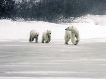 Polar Bear Mother with Twins Royalty Free Stock Photo