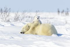 Polar bear mother with two cubs. Polar bear mother Ursus maritimus ying down on tundra, with new born playing, Wapusk National Park, Manitoba, Canada Stock Images