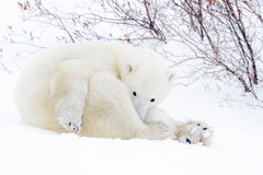 Polar bear mother with two cubs Stock Images