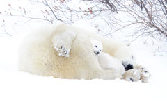 Polar bear mother with two cubs Stock Photos