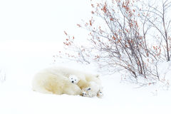 Polar bear mother with two cubs Royalty Free Stock Photo
