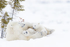 Polar bear mother with two cubs. Polar bear mother Ursus maritimus with two cubs, Wapusk National Park, Manitoba, Canada Stock Photography