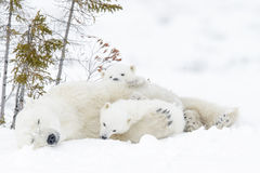 Polar bear mother with two cubs Stock Image