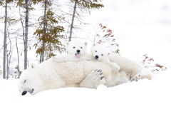 Polar bear mother with two cubs Stock Photography