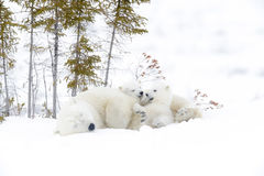 Polar bear mother with two cubs Royalty Free Stock Photography