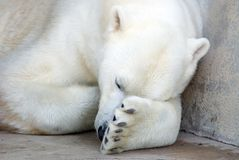 Polar Bear Nap. A polar bear curled up taking a nap Stock Images