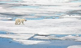 Polar bear. In natural environment stock images