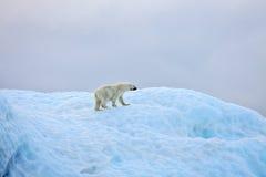 Polar bear. In natural environment stock photos