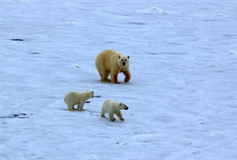 Polar bear near North pole 86-87 degrees north latitude. Polar bear near North pole. Never seen people and ships bear family 2 cubs close to huge nuclear powered Royalty Free Stock Photo