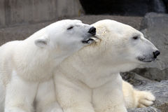 Polar bear nibbling males ear. Affectionate and happy female polar bear nibbling male's ear as they relax together Royalty Free Stock Photography